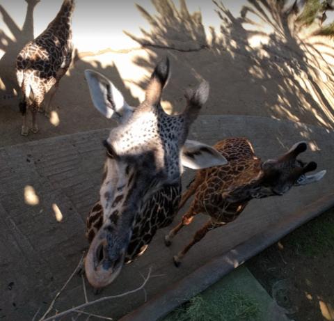 下面是一些有趣的动物自拍: 看起来很凶猛的老虎玩起自拍来也是萌萌
