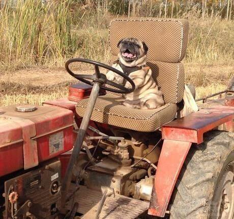 狗开着拖拉机 压死了自己千万富翁的主人