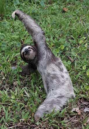 树懒其实没那么懒:背包客拍到做瑜伽的树懒图片