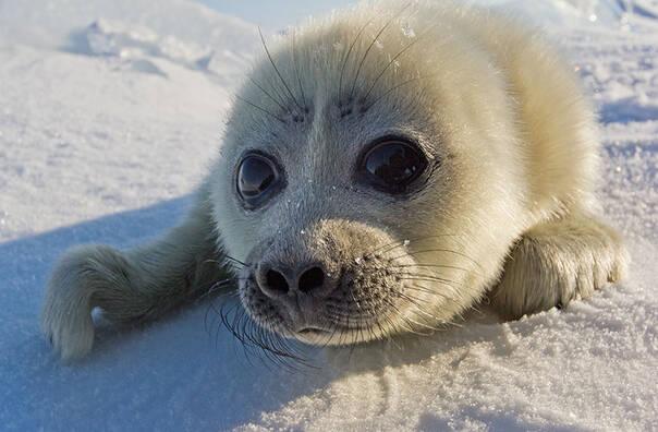 一只软萌的小海豹在对你说hi