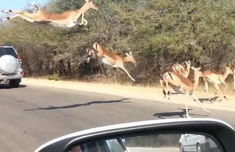 在猎豹的追逐下 一群羚羊以超魔性姿势飞越车阵