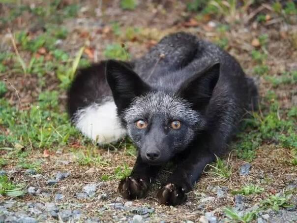 极超清动物黑狐图片