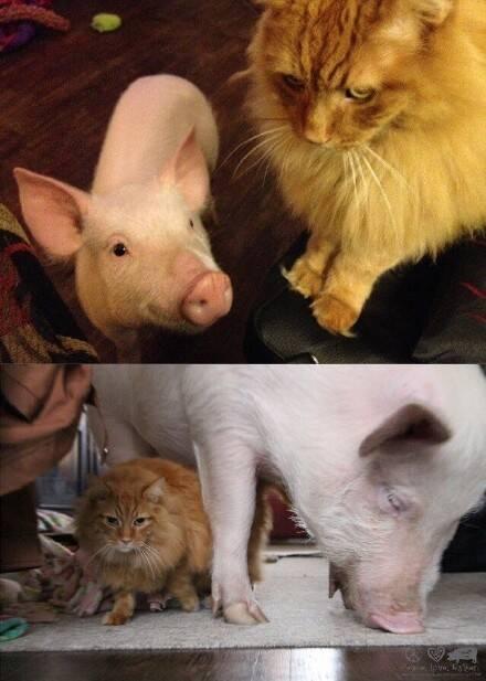 可爱猪猪萌宠壁纸