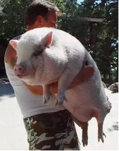 """2个月时,它是娇小可爱的""""迷你猪"""";2岁时,它成了近64公斤的货真价实的"""