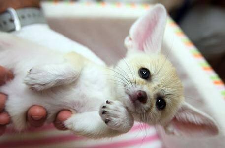 世界上最小的犬科动物