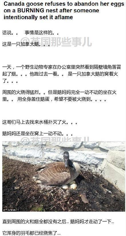 虐心150513:一只鹅的窝着火了 但是鹅妈妈就是坚持着不走