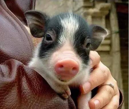 猪有很多被误会已久的特点:它们很聪明,如果