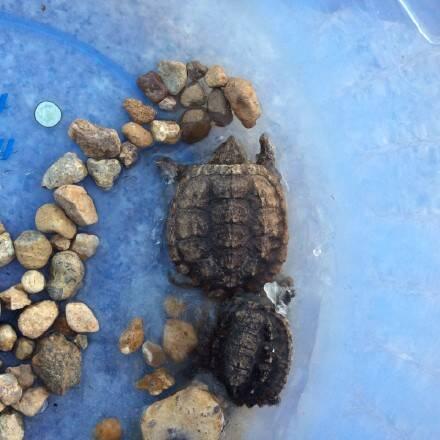 寒潮 对于乌龟来说是一场突如其来的灾难