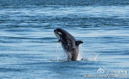 围观150731:小虎鲸水上起舞 旋转跳跃它就是那样萌萌哒