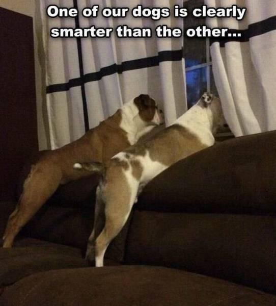 很显然,我家的两只狗有一只智商低下!