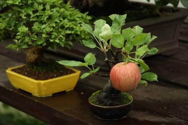 一棵特别努力的苹果树