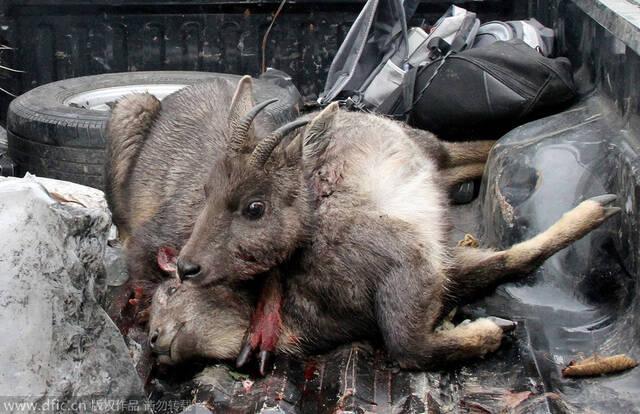 成都:盗猎者驾豪车射杀保护动物被捕