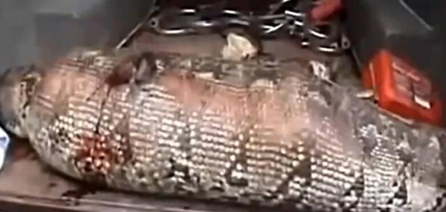 实拍工作人员捕获饱食后食人巨蟒 现场惨遭解剖