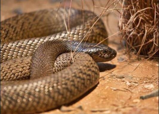 最恐怖的蛇_全球最恐怖的十种蛇,眼镜蛇五步蛇均未入榜