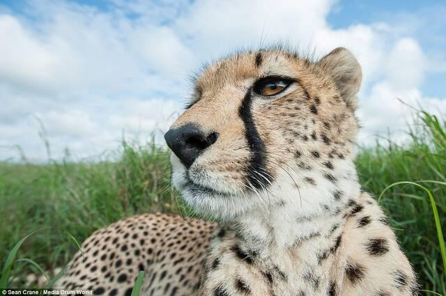 1/16据《每日邮报》2015年3月16日报道,Sean Crane发布了一组动物的组图,这组图特点是利用大广角镜头拍摄动物的大头照。该组图片拍摄于世界各地,从印度到乌干达再到克罗地亚,足迹遍布了世界各地。摄影师表示,拍摄这组图片为了动物保育运动。图为一只躺着休息的海豹。