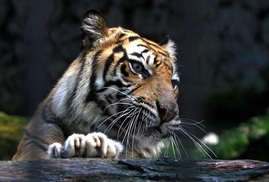 听说宁波雅戈尔动物园的老虎因伤人被特警击毙,上海动物园饲养科副