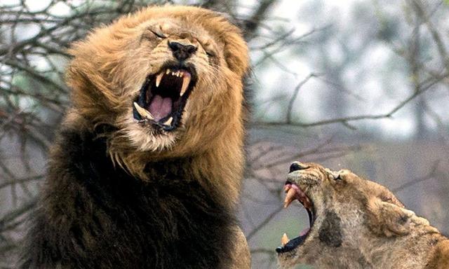 雄狮威胁幼狮安全 门牙被狮妈妈打断