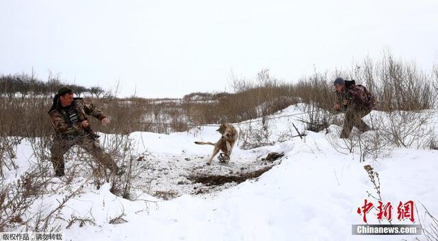 切尔诺贝利事故区狼群泛滥 村民设陷阱捕杀(组图)