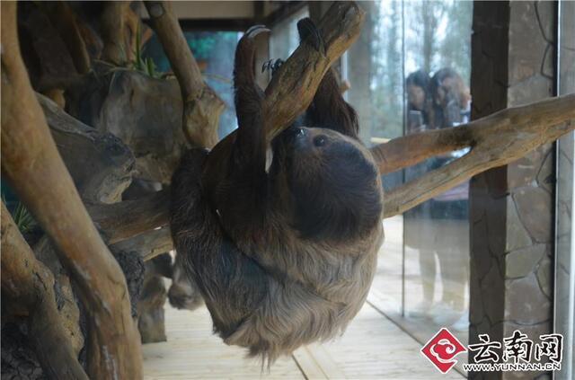 树懒来自热带雨林,吃的东西也是热带特产.