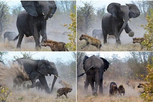 母象朝着这些凶残的动物狂奔,摆动着象鼻,用厚重的大脚用力踢来回打转