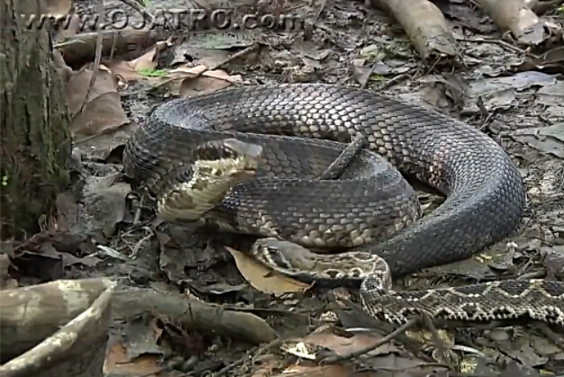 世上最毒两大蛇相斗:水蝮蛇一口咬肿响尾蛇头