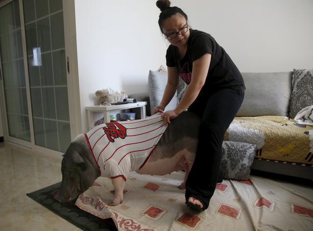 北京女孩与170斤宠物猪同吃同住