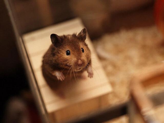 这可能是世界上最萌的仓鼠了