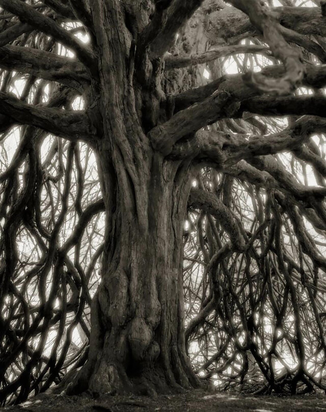 上最古老的树木