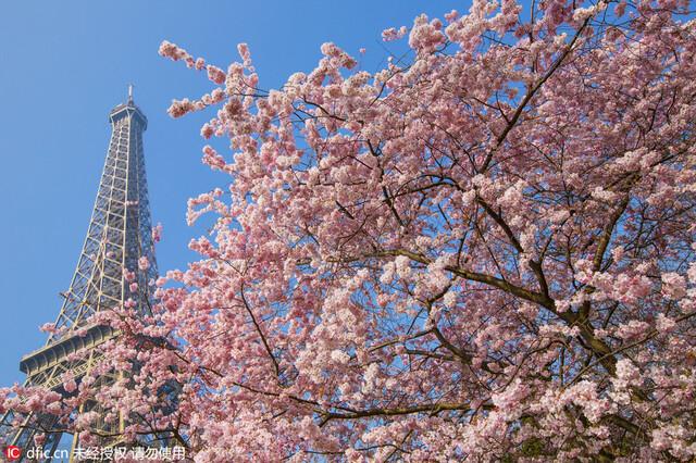 2/13法国巴黎埃菲尔铁塔下的樱花树
