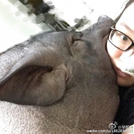 同一被窝和猪睡觉   8/32图片中, 睡眼惺忪,两只大鼻孔对着镜头,