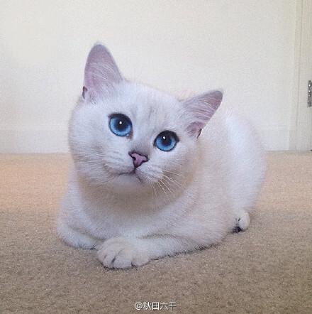 一只卖萌与瞪眼皆会的蓝眼猫