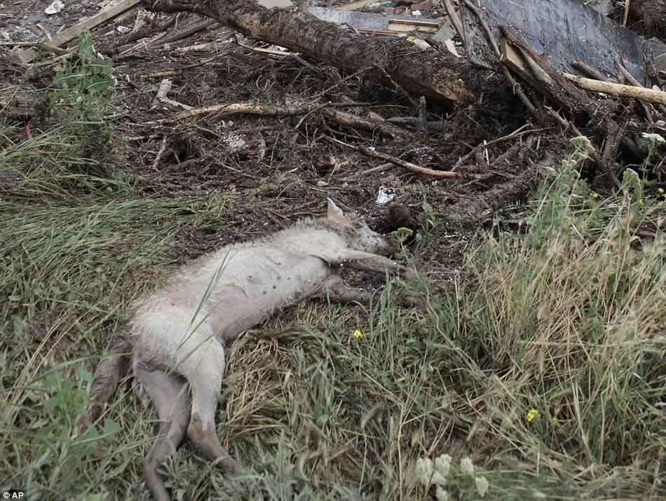 洪水冲毁了动物园的外墙,许多动物外逃.图为一只动物尸体倒在草地图片