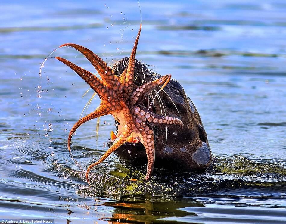 残酷的生死搏斗:海豹捕食章鱼全程