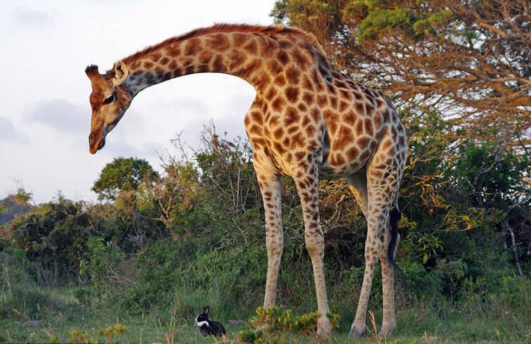 温馨有爱!南非动物园家兔与长颈鹿玩耍互动