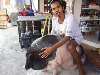 泰国宠物猪爆红网络 主人当其是女友一辈子跟猪过