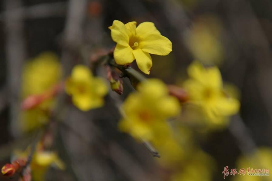 青岛街头迎春花悄然绽放