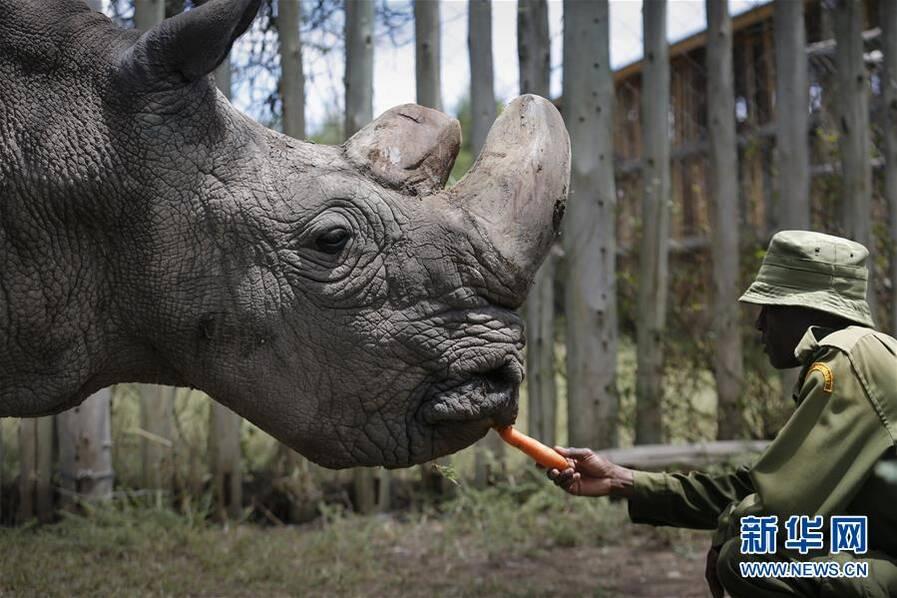 """世界最后一只雄性北方白犀牛 交友网站上""""求偶"""" - 梅思特 - 你拥有很多,而我,只有你。。。"""