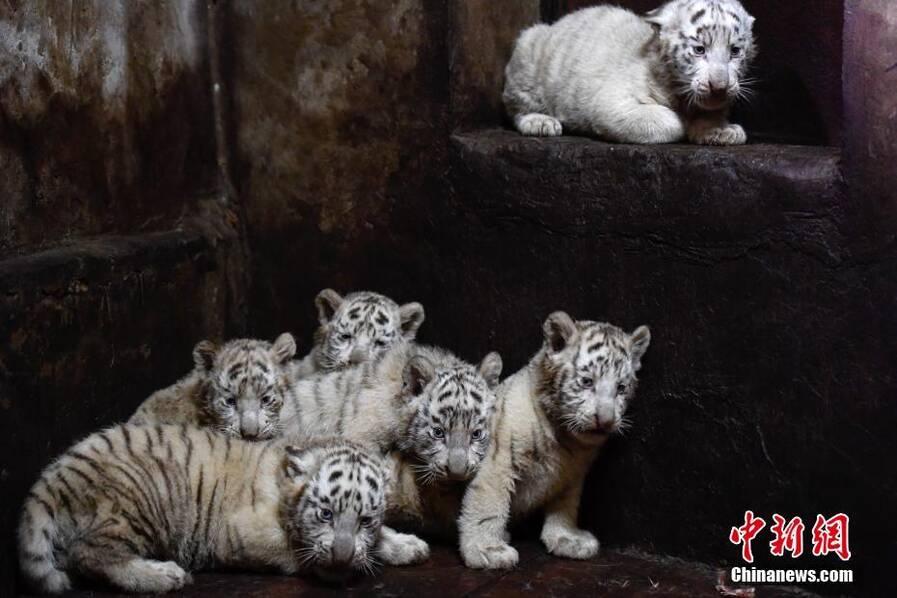 云南野生动物园白虎妈妈破纪录产下6胞胎_河南频道
