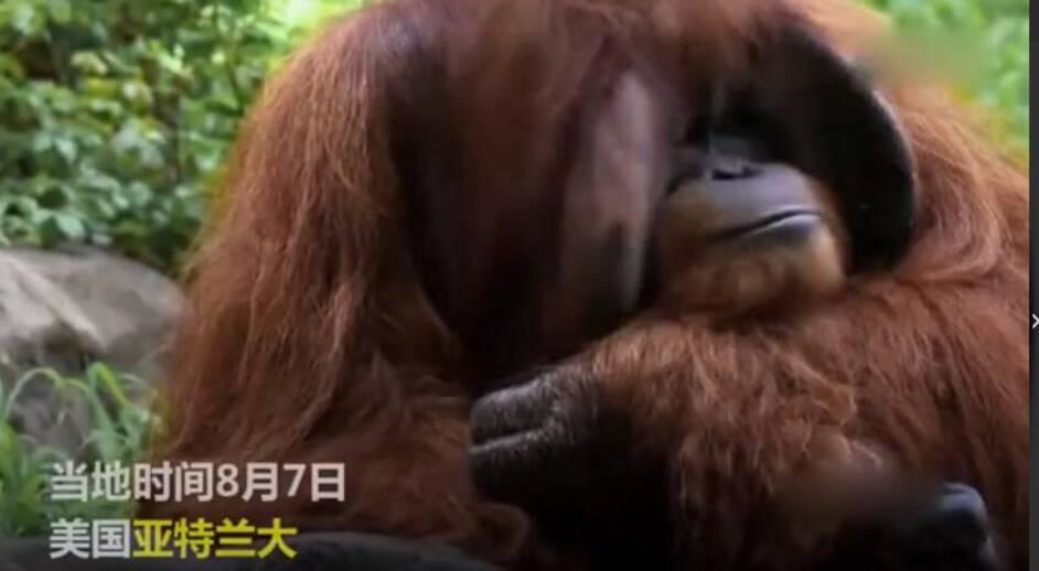 世界唯一大学毕业的猩猩去世
