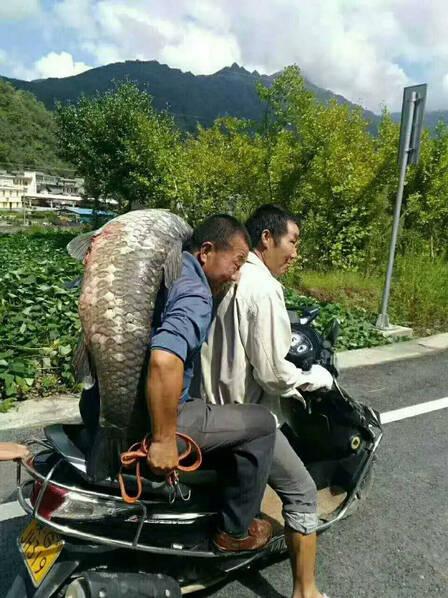 大坝泄洪 村民捡到50余斤大鱼