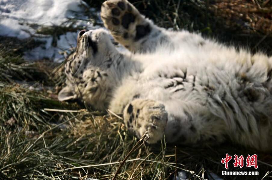 """雪豹""""傲雪""""动物园内乐享冬日暖阳_河南频道_凤凰网"""