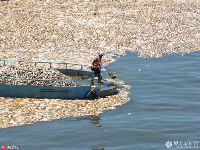 台湾高温致大片死鱼