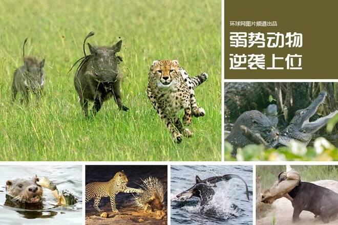 野生动物中那些弱势群体的逆袭 所以不要欺负任何人!