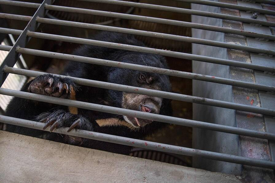 约一千只熊从非法农场获救 越南将于2020年结束熊胆培育业 - 梅思特 - 你拥有很多,而我,只有你。。。