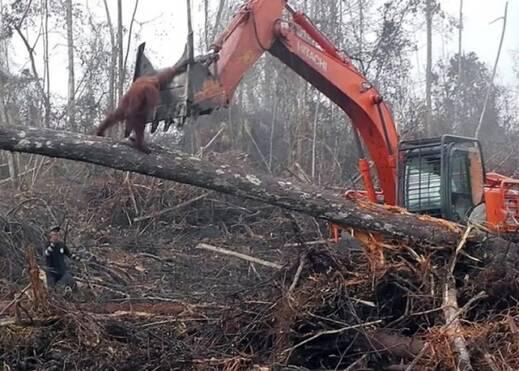 Image result for 印尼红毛猩猩为保家园 单手挡挖泥机
