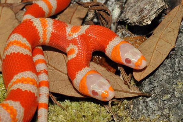 世界上拥有双头蛇最多的人