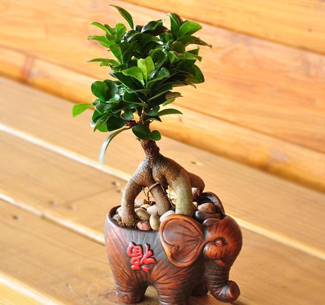 发财树绿植小盆景,发财树不仅仅能够象征寓意着发财,还能够帮助净化空图片