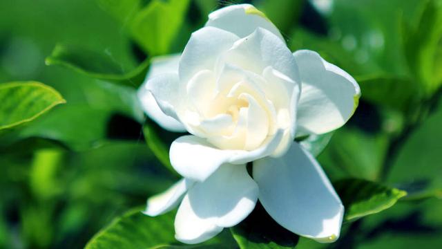 养花系列1:这样修剪栀子花,花开的越来越多