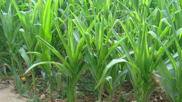 粮农种植玉米,粗缩病、矮花叶病识别与高效预防防治