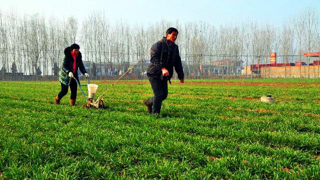 粮农种植小麦,重施基肥及各时期肥料配比防早衰减产